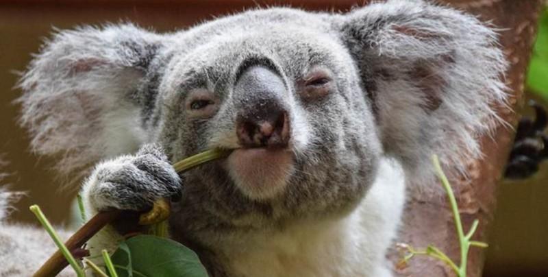 El koala y otros animales que podrían quedar extintos este año