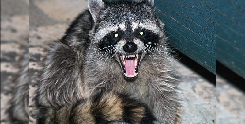 Reportan avistamiento de mapaches 'zombies' en Chicago