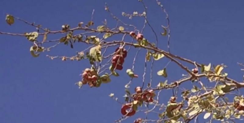 Árbol de guamúchil, también tiene uso medicinal