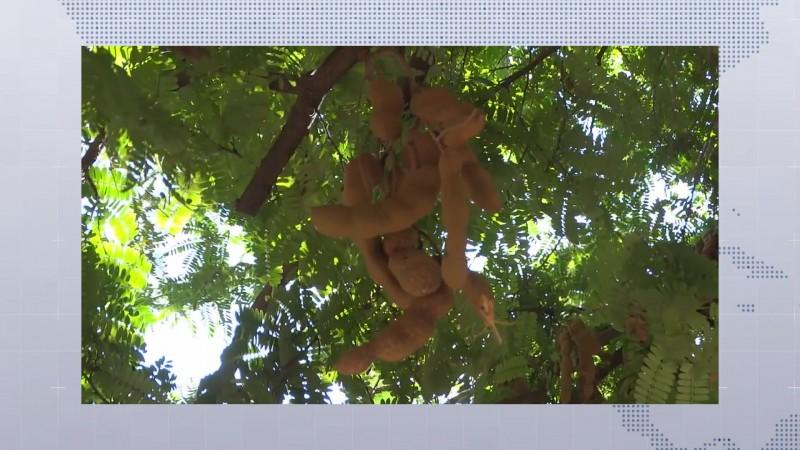 El Tamarindo es una planta cuyo fruto se utiliza en el arte culinario y medicinal