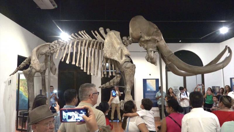 Llega mamut al Museo Arqueológico de Mazatlán