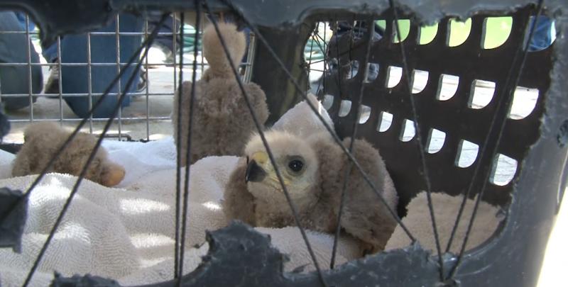 Cuerpos de auxilio capturan a crías de águilas que atemorizaban a una escuela primaria
