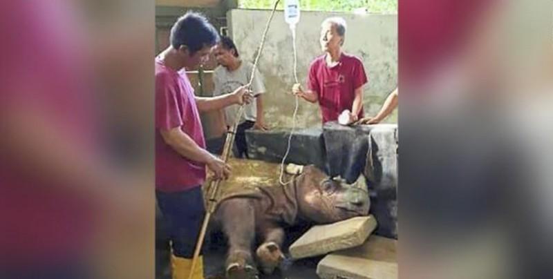 Falleció Tam, el último rinoceronte de Sumatra macho en Malasia