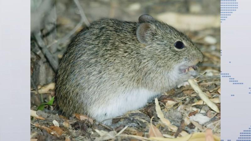 Alerta por infestación de rata en campo en la región del valle de San Lorenzo