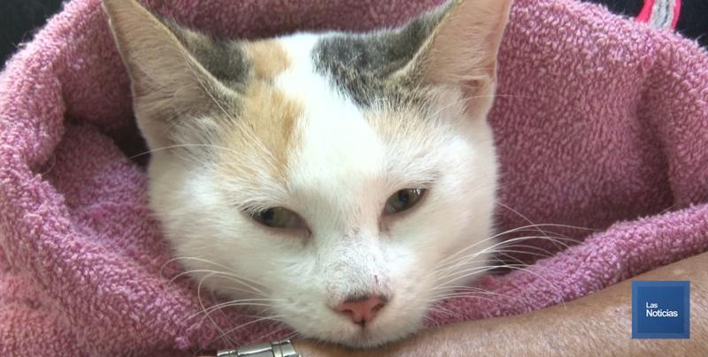 Encuentran Virus de Inmunodeficiencia Felina en Navojoa