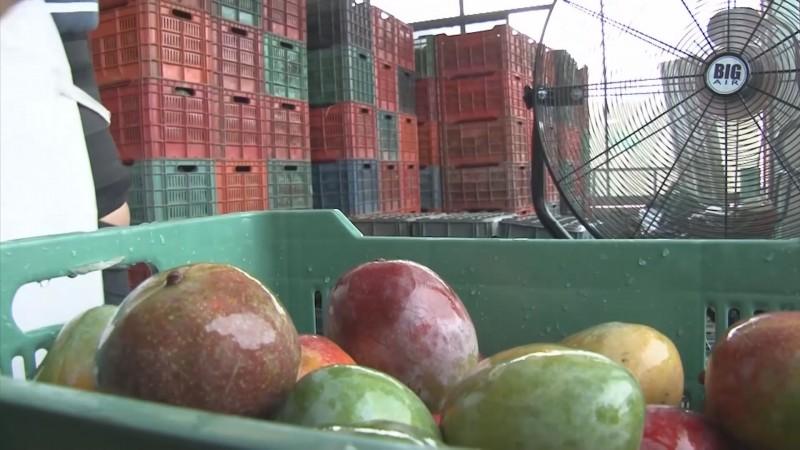 Reconocimiento a huertos de mango en el sur como temporalmente libres de la mosca de la fruta