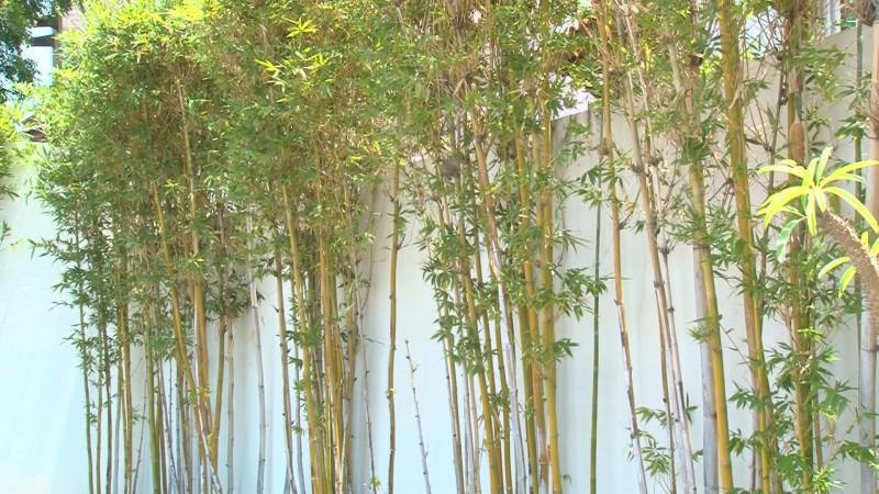 El Bambú es una planta con bastantes usos y la de mayor crecimiento en el mundo