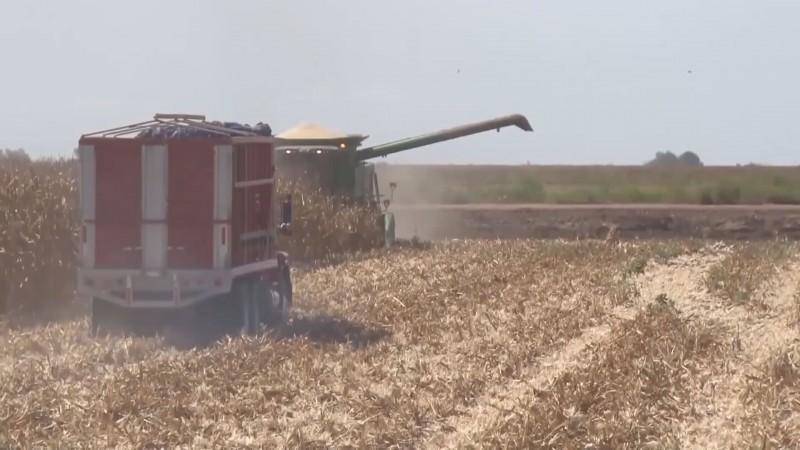 Pide la UARS que el Gobierno Federal garantice el ingreso objetivo del maíz no contratado