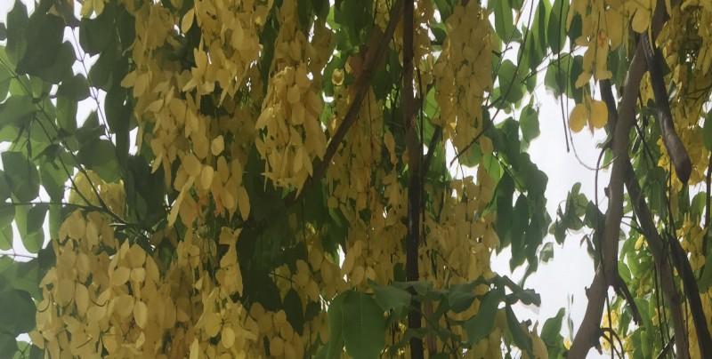 La cassia fístula  es un árbol hermoso, muy colorido