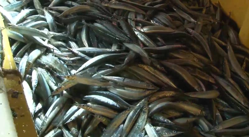 """Cada vez menos pescado """"pajarito"""" en Mazatlán"""
