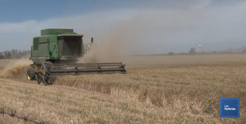 A punto concluir la cosecha trigo en la región