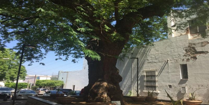Huanacaxtle, árbol tropical que puede medir hasta 35 metros