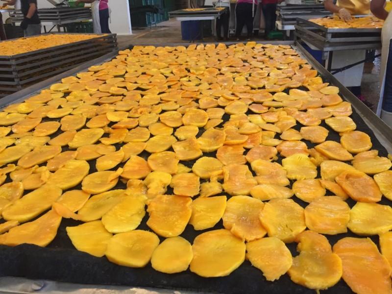 Deshidratadora de mango, diversifica producción para mantener fuentes de empleo