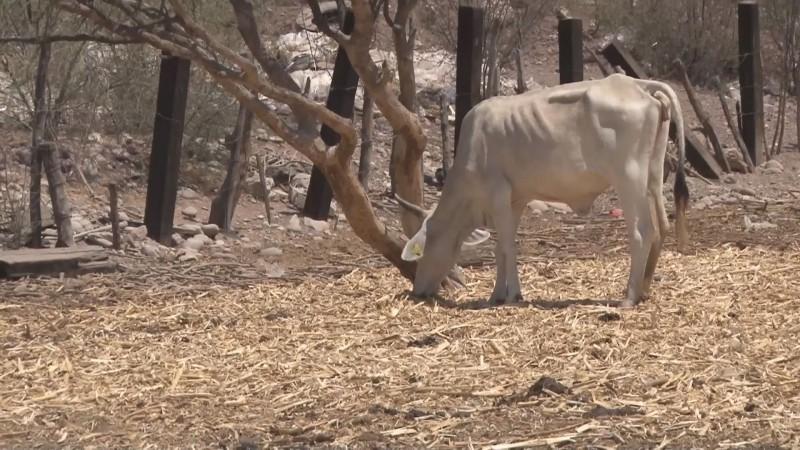 Sin reportes de mortandad de ganado a consecuencia de la sequía