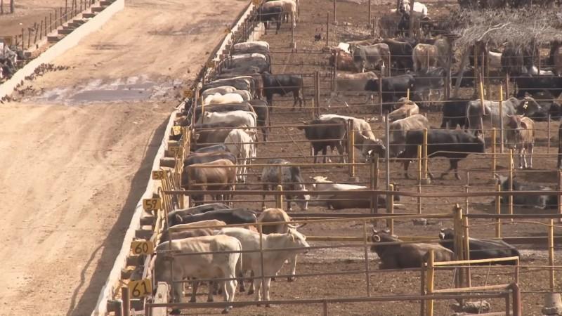 Productores ganaderos están cooperando para instalar el arete de identificación animal