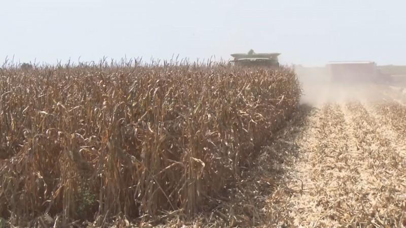 Ultimátum de las organizaciones para que ésta semana se contrate la producción restante de maíz