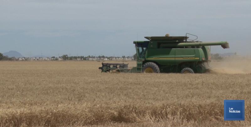 Mayor rendimiento por hectárea de trigo se logró en este ciclo