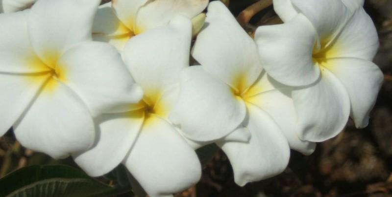 Plumeria, conocido como Cacaloxuchilth, Chilacayote, entre otros