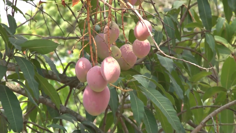 Afecta sequía a cultivos de la región sur del Estado: AARP