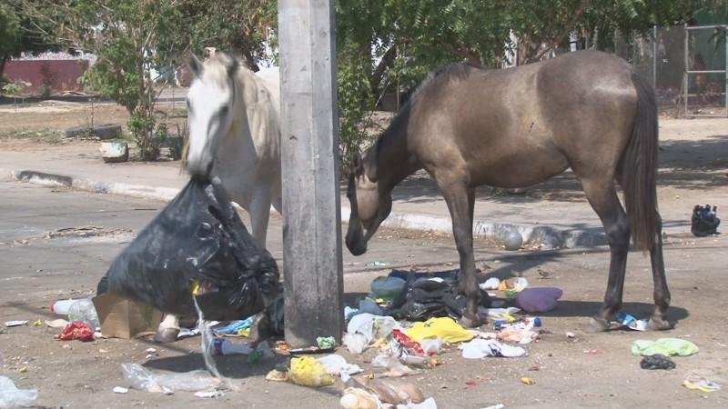 Caballos comen basura ante la falta de recolección por parte del Ayuntamiento