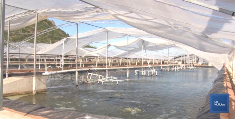 De manera adecuada avanza cultivo de camarón en Sonora