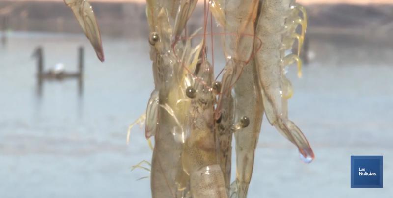 Tiene COSAES 53 reportes por problemas sanitarios en cultivos de camarón