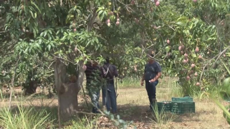 Daños por el huracán Willa, provocan caída en la producción de mango en el sur de Sinaloa