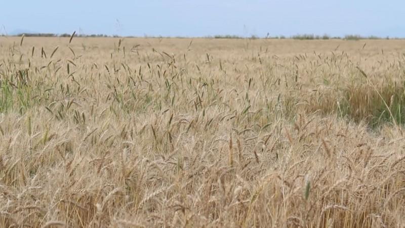Piden productores de trigo una prórroga para pagar créditos de avío