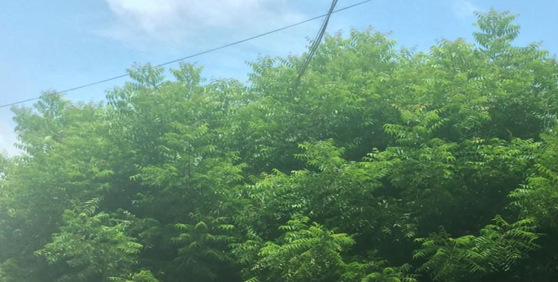 Piden poda de árboles en la colonia Las Vegas