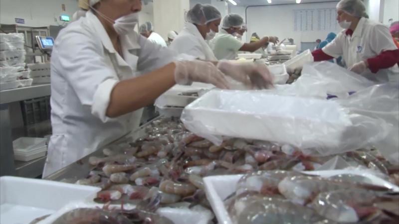Toca fondo el precio del camarón de exportación sinaloense