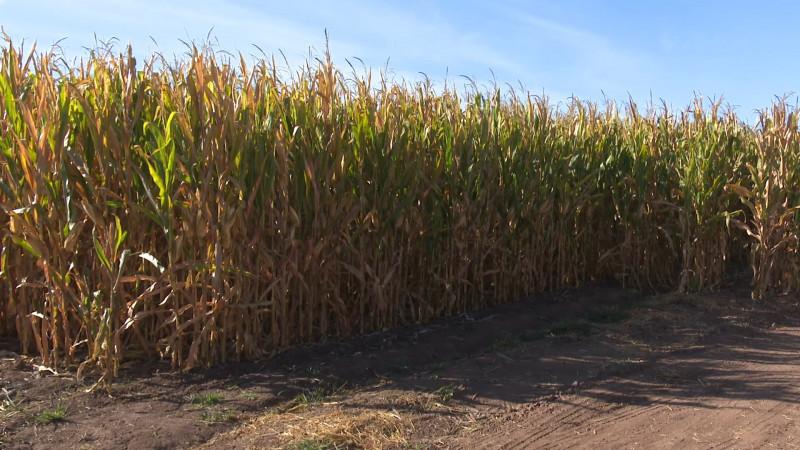 No hay reporte de afectación en cultivos tras lluvias