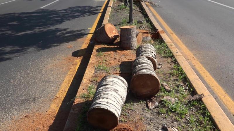 Cuestionan arquitectos tala 'masiva' de palmeras en Mazatlán
