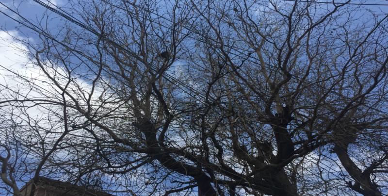 Piden que árbol seco sea retirado de andador