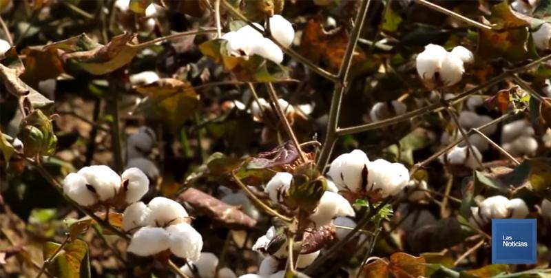 Prácticamente ha desaparecido el cultivo del algodón en el Valle del Yaqui