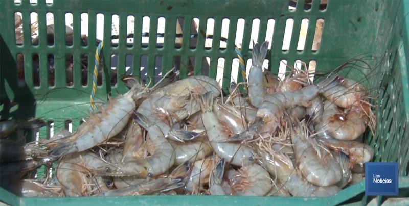 Hasta el 21 de septiembre se levanta la veda del camarón