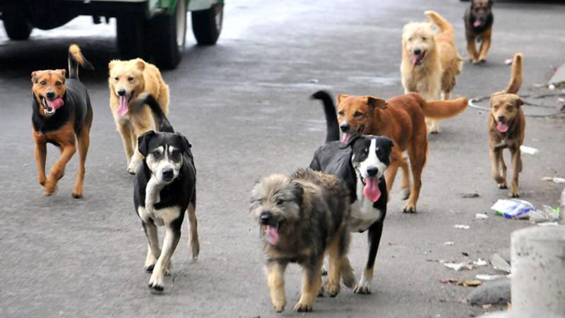 Incrementan agresiones de perros en humanos: Vectores