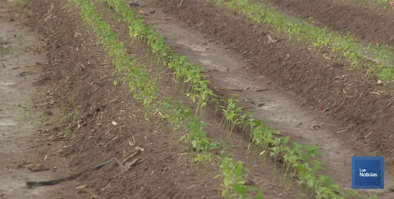 Sigue la plantación de chile en el Valle del Yaqui