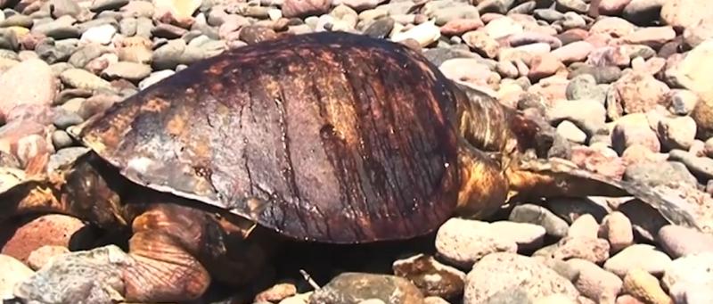 Desconoce Acuario Mazatlán motivo de mortandad de tortugas