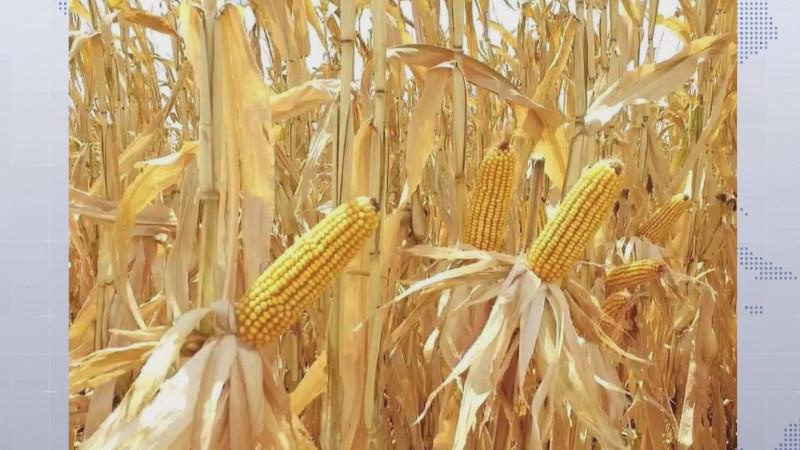 Genera incertidumbre la falta de esquema de comercialización para el maíz nacional