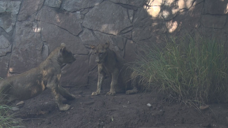 Llegan al Zoológico de Culiacán dos nuevos integrantes