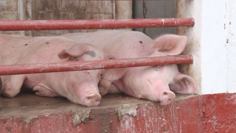 La industria porcícola atraviesa una de sus peores crisis , propiciada por las importaciones de carne de cerdo