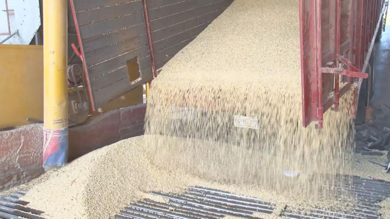 Gestionan recursos federales para inducir la siembra de maíz amarillo en Sinaloa