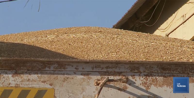 Anunciaron precio para la tonelada de trigo harinero