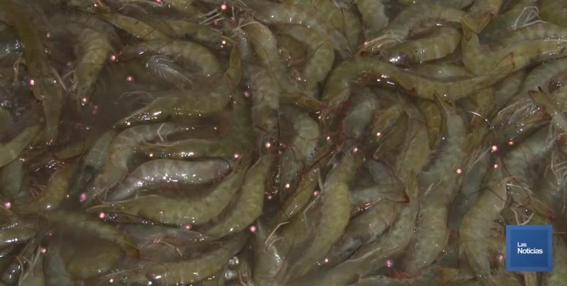 Al 70% de avance están las cosechas de camarón