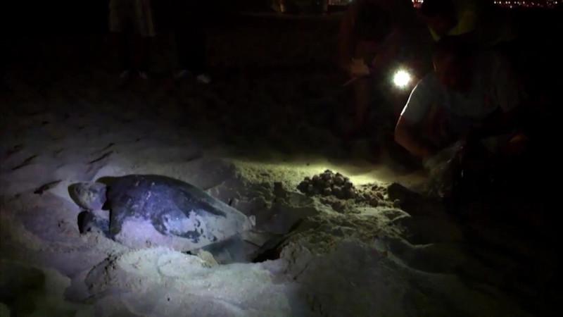 Se pierden al menos 600 nidos de tortugas en Mazatlán