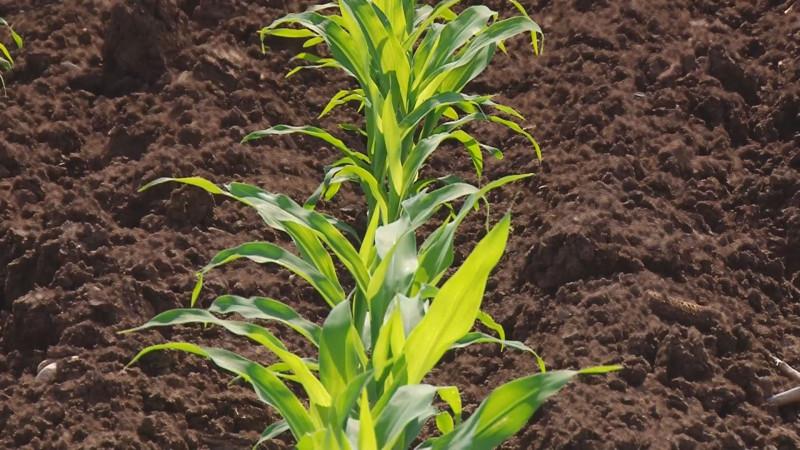 Se reduce la siembra de maíz hasta un 35 por ciento , a consecuencia de la falta de agua