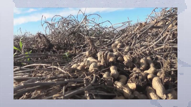 Rendimientos de una tonelada y media por hectárea en las cosechas de cacahuate