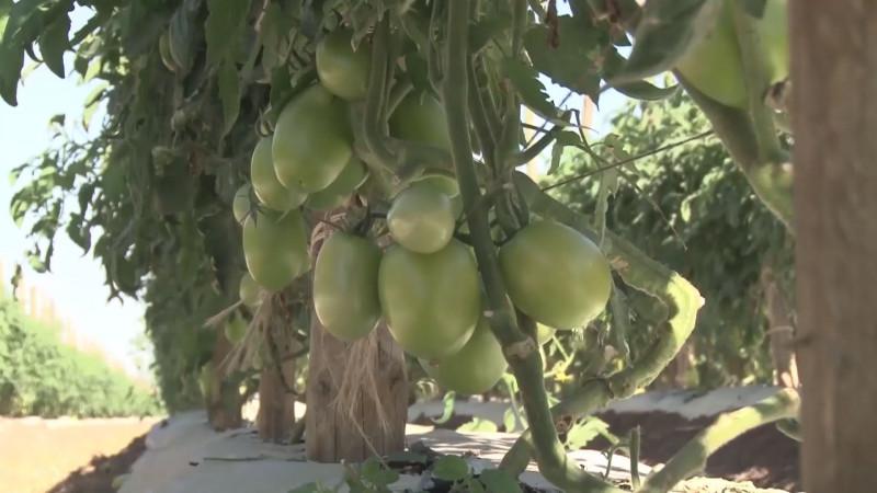 Se requieren recursos para implementar un programa de reconversión de cultivos en Sinaloa