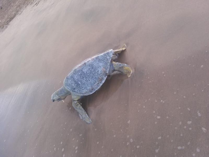 Aparecen tres tortugas muertas en playas de Mazatlán