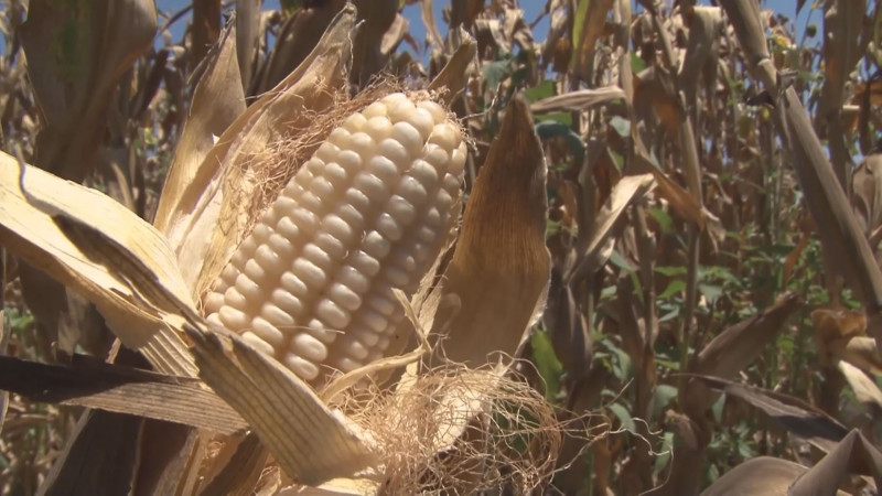 Rechazan productores de Sinaloa iniciativa que obligaría a sembrar solo maíces criollos